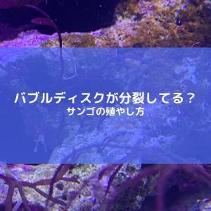 カリビアンバブルディスク分裂!サンゴ増殖のやり方を解説。