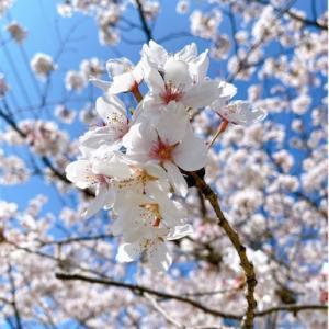 桜が満開(^-^)