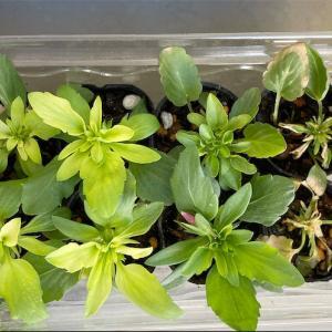 ビオラ挿し芽とコボレ種