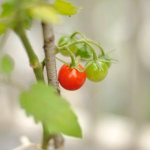 レッド&グリーントマト♡