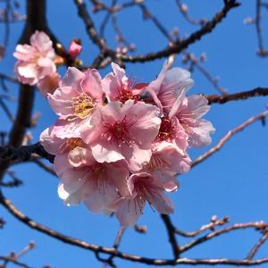 河津桜がいい感じ♪