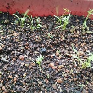 ニンジンの種を植えてから2週間経ちました。