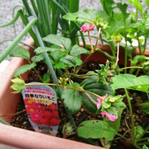 家庭菜園用イチゴ栽培
