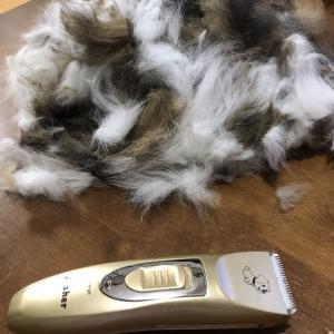【猫さんと暮らす】モフ猫の毛刈り【ノルウェージャンフォレストキャット】