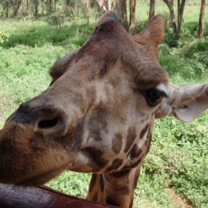 ケニアひとり旅④【お上品なキリンに餌をあげる】