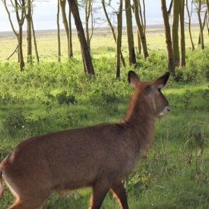 ケニアひとり旅⑩【ナクル湖国立公園で準絶滅危惧種シロサイの親子と出会った】