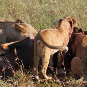 ケニアひとり旅⑭【ライオン特集:トピの優雅なお散歩からライオンの捕食まで】