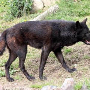 日々戯言:東海3県除外の謎判明と久しぶりのオオカミ