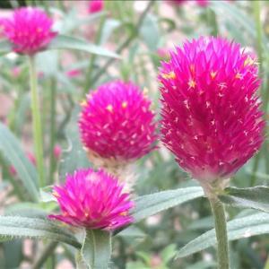 花のお便り1008