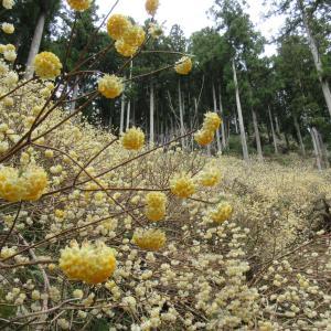 滋賀県 多賀町 ミツマタ群生地と巨木探訪