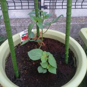 ミニトマトの植え方