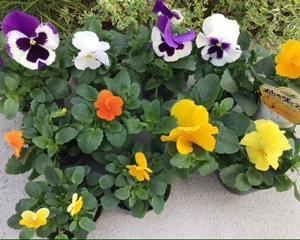 植木鉢の植え替え