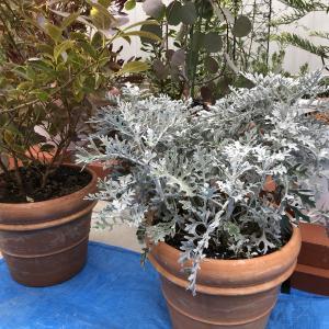 白妙菊 においばんまつり ドリフトローズ 植え替え