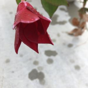 越冬可能 夏の花サンパラソル サントリーさん、グッジョブ♪