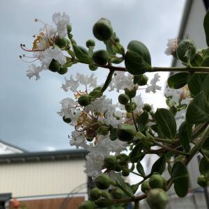白花の百日紅 咲きました