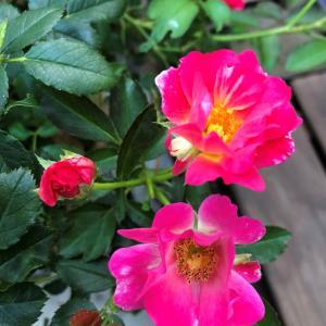 強い薔薇*鉢植編