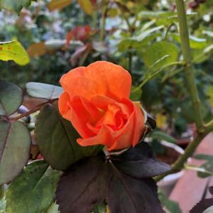 秋バラの始動と、アイアンベンチ塗装