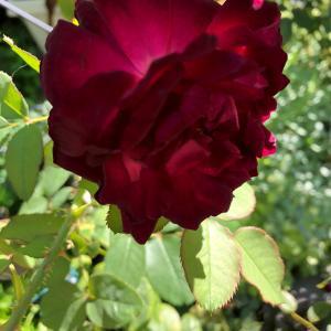 赤薔薇が優勢の今日です