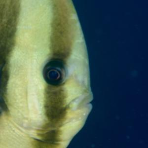 コブダイ幼魚😱