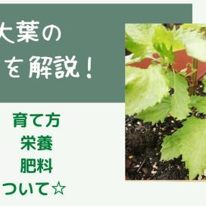 家庭菜園での大葉の育て方☆プランター栽培のポイントまとめ