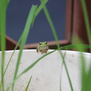 【夢日記】小さいカエルと一緒に歩く