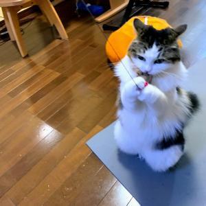本日の猫: 2020/1/17 立ち上がって遊ぶ猫