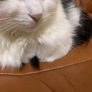 本日の猫: 2020/1/20 自分の尻尾を引いて寝る猫