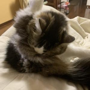 本日の猫: 2020/1/22 L字バランスで毛づくろいをする猫
