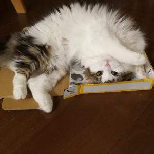 本日の猫: 2020/1/26 箱の中できゅるんとかわいさアピールする猫