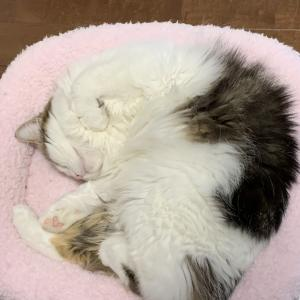 本日の猫: 2020/1/28 ピンクのベッドで床暖房を堪能する猫