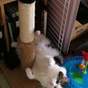 本日の猫: 爪とぎの横にはまった猫