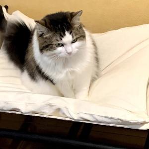 (妻)猫記録:皮下輸液その後①(だいぶ慣れてきました+皮膚に黒い粒が)