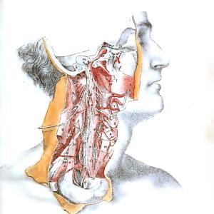 【フリー素材・商用可】解剖図のスキャン【アンティーク・ビンテージ・パブリックドメイン】
