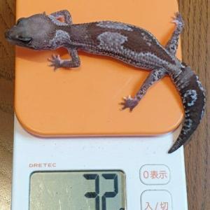 【ニシアフリカトカゲモドキ】オレオズールーは体重キープ!!
