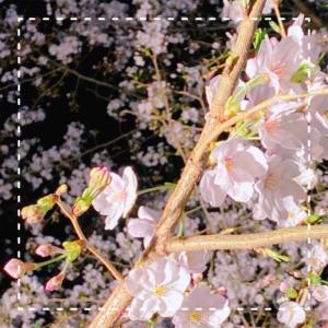 #朱の会 通りすがりの夜桜