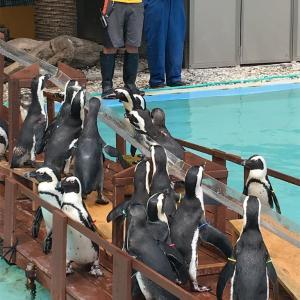 ペンギン流しアジ
