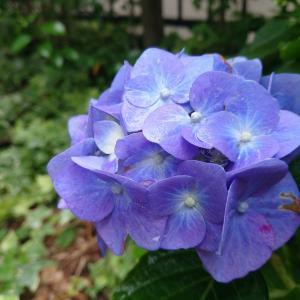 庭の紫陽花が咲いた…♪