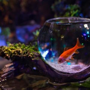 金魚とメダカは同じ水槽で飼える?育て方に違いはあるの?