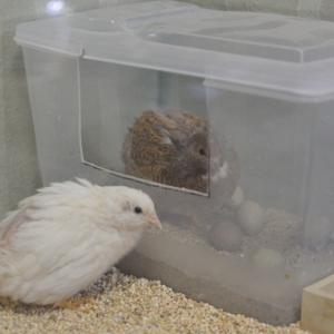 姫ウズラ*ペネロペの卵