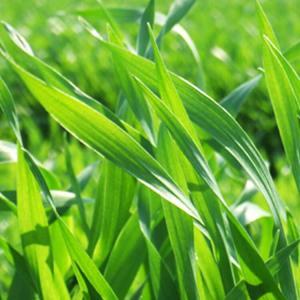 大麦若葉青汁の効果効能、栄養満点で飲みやすいのでおすすめ