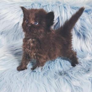 サイベリアンのやんちゃんの子猫たち生後1か月になりました!