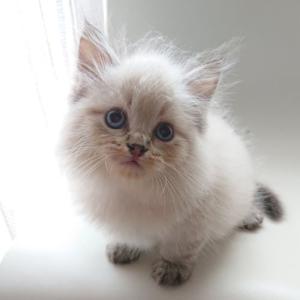 サイベリアンのやんちゃんの子猫たち 生後1か月半になりました!