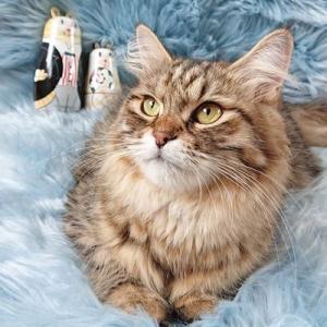 サイベリアンのやんちゃんの子猫たち! マトリョーシカと一緒