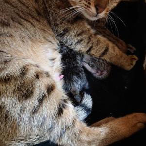 昨日11月5日にガイアちゃんが出産しました!  サバンナ子猫