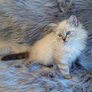 サイベリアンやんちゃんの子猫はあと1匹新しいお家を募集中です。