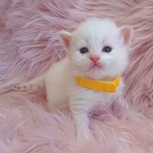 サイベリアンぷっぱちゃんの子猫たちはこんな子たちです。