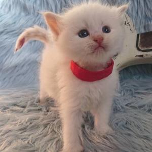 サイベリアン ぷっぱちゃんの子猫たち