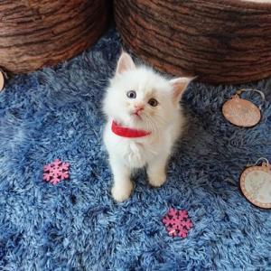 サイベリアン ぷっぱちゃんの子猫たち生後5週間