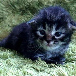 サイベリアン&ネヴァマスカレード やんちゃんの子猫たち。