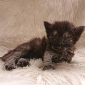 きゅーちゃんの子猫たち 大きくなってきました。  ノルウェージャン